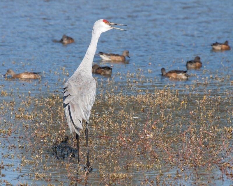 Zandheuvel Crane Calling stock afbeeldingen