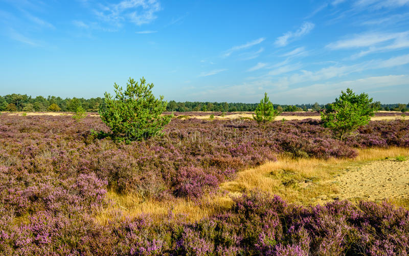 Zandig natuurreservaat met purpere bloeiende heide stock afbeelding