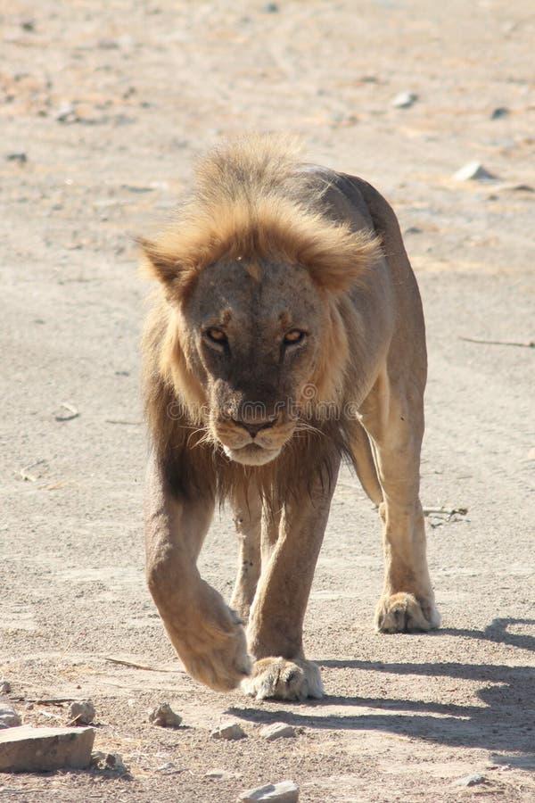 Zandige Leeuw stock fotografie