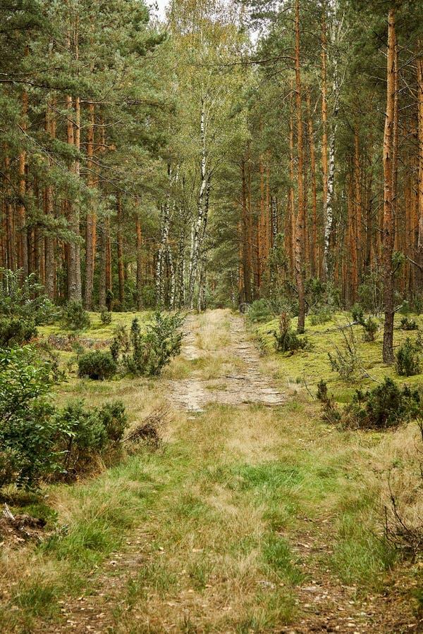 Zandige weg in een mooi groen pijnboombos stock afbeeldingen