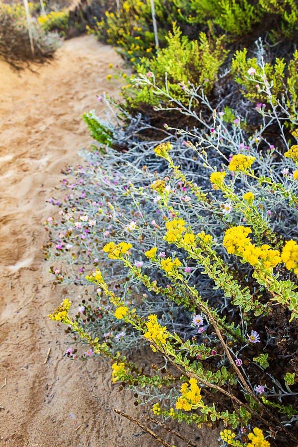 Zandige weg met westelijke willflower, madeliefje, en iceplant royalty-vrije stock foto
