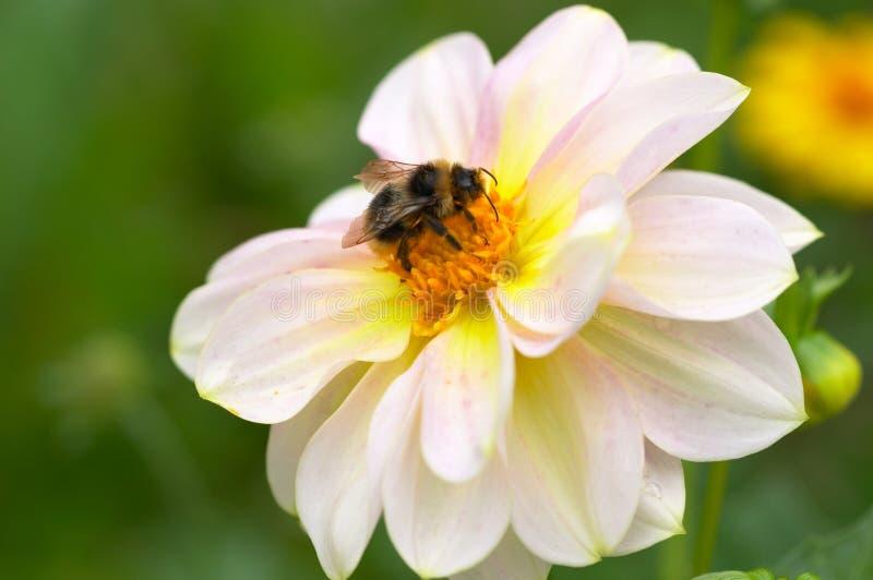 Download Zangão na flor foto de stock. Imagem de feliz, verde - 12810398