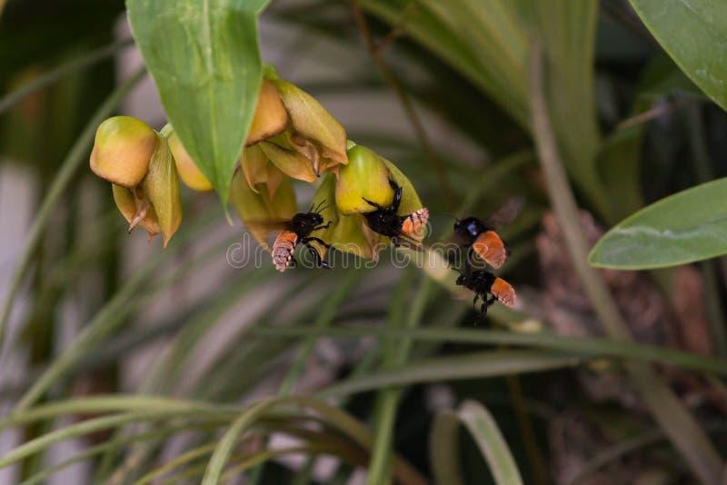 Zangão na flor da orquídea fotografia de stock royalty free