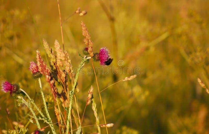 Zangão na flor do cardo fotografia de stock royalty free