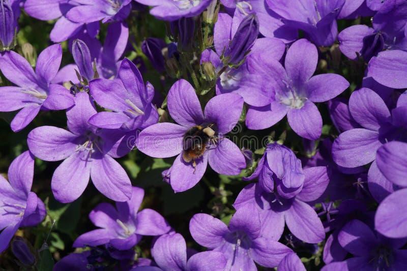 Zangão na flor roxa imagem de stock royalty free