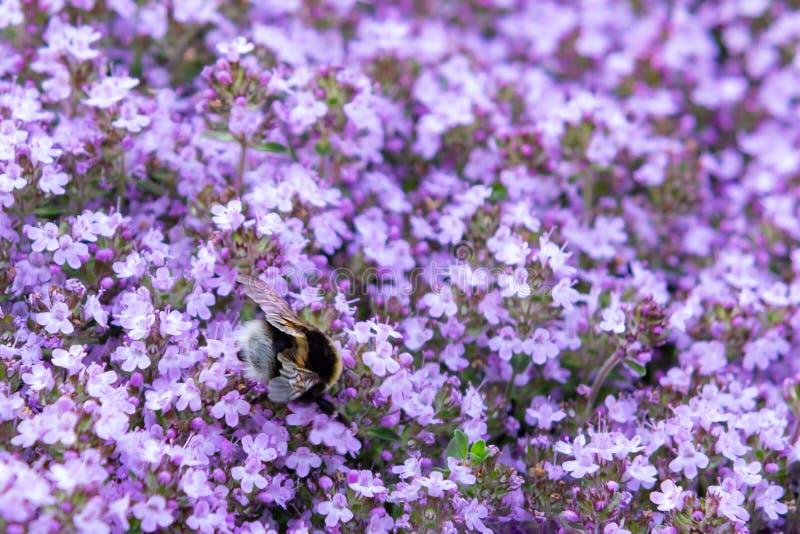 Zangão no serpyllum roxo de florescência do tomilho das flores do groundcover em uma cama no jardim, fim acima, foco seletivo mac foto de stock