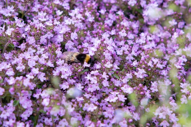Zangão no serpyllum roxo de florescência do tomilho das flores do groundcover em uma cama no jardim, fim acima, foco seletivo mac foto de stock royalty free