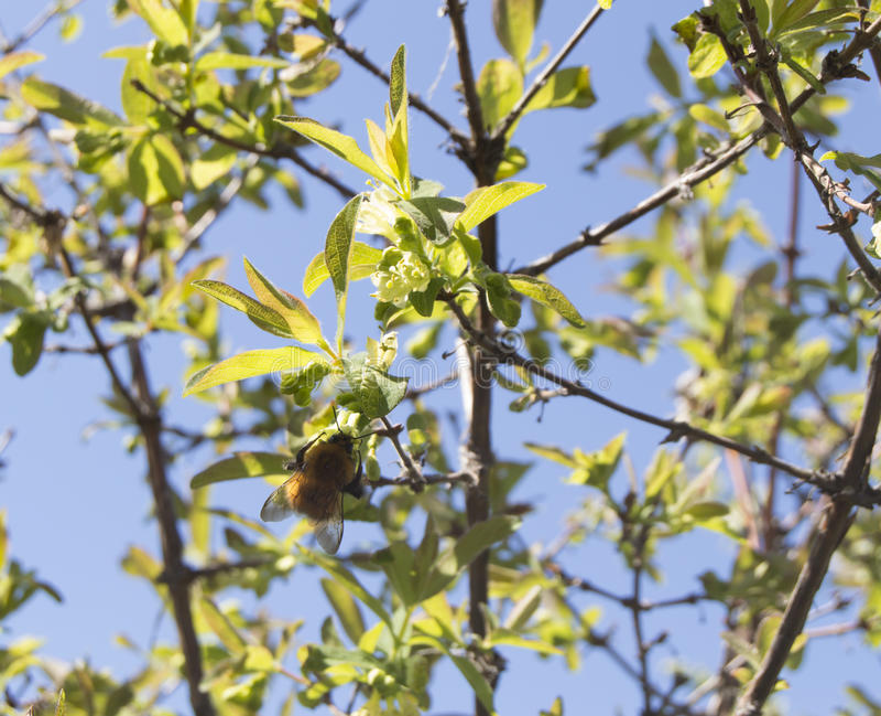 Zangão que senta-se em um ramo de florescência, fundo do céu azul imagem de stock