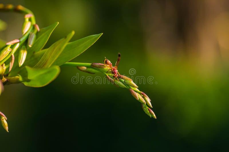 Zangões que procuram o alimento nas orquídeas foto de stock royalty free