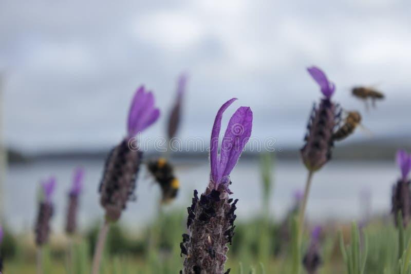 Zangões que recolhem o néctar das flores da alfazema fotos de stock