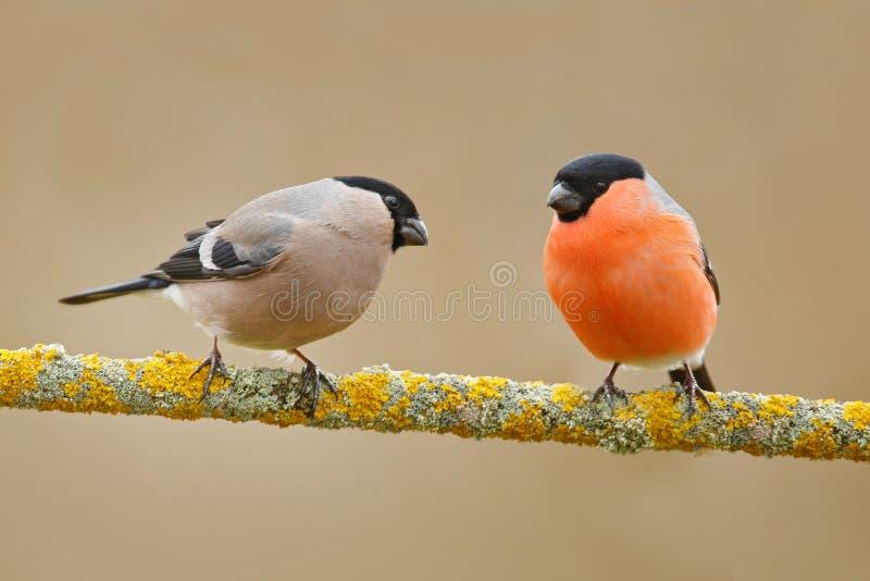Zangvogels, mannetje en wijfje De rode zitting van de vogelgoudvink op gele korstmostak, Sumava, Tsjechische republiek Het wildsc stock foto