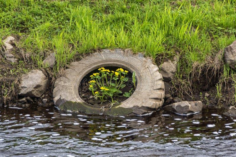Zanieczyszczenie natura - kwiaty r w zaniechanej ciężarowej oponie rzeką zdjęcie royalty free