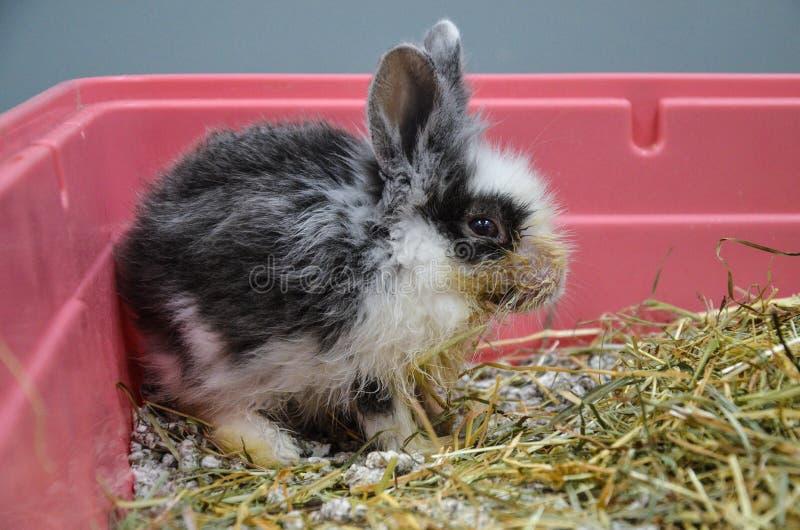 Zaniedbany i chory młody królik z górną oddechową infekcją przy weterynaryjną kliniką zdjęcie royalty free
