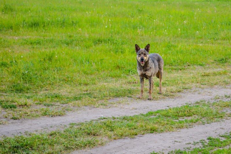 Zaniepokojony spojrzenie bezdomna psia pozycja na wiejskiej drodze fotografia stock