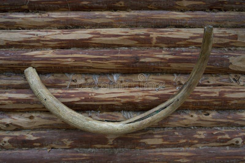 Zanna mastodontica fotografia stock