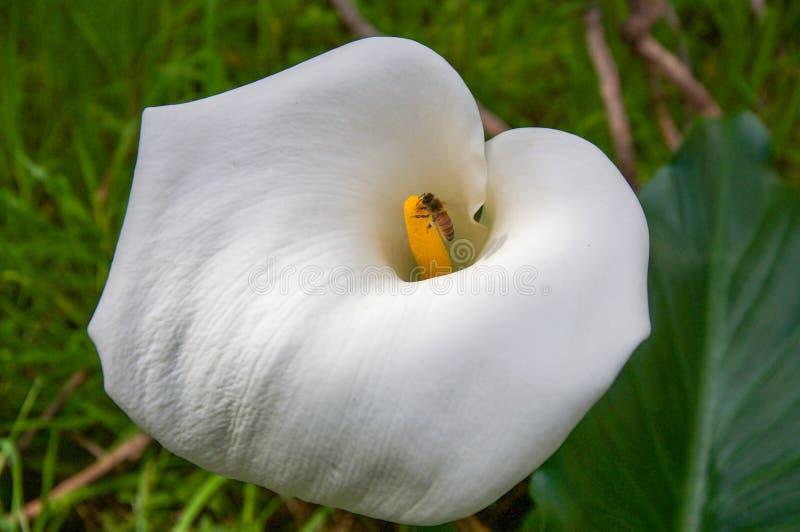 Zantedeschia blanc avec l'abeille photo stock