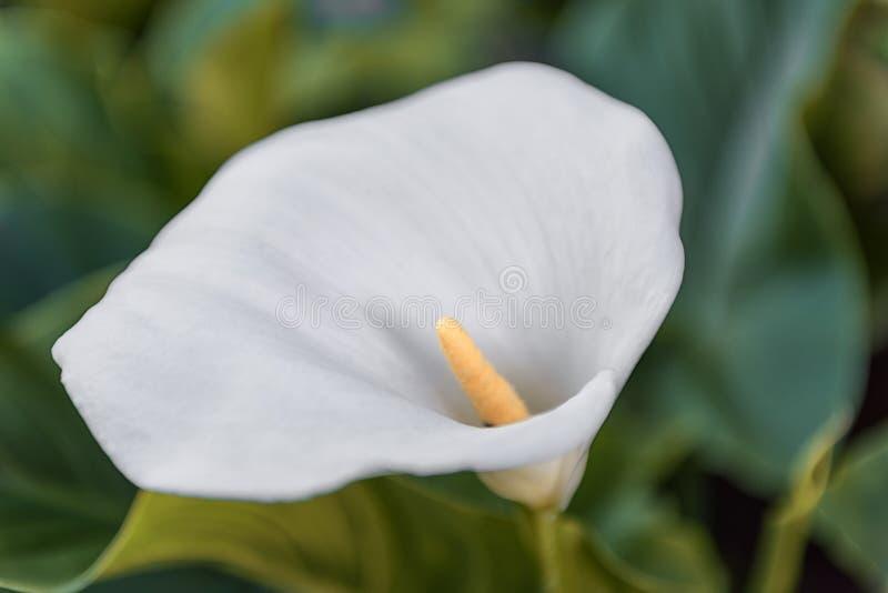 Zantedeschia blanc dans le jardin images libres de droits