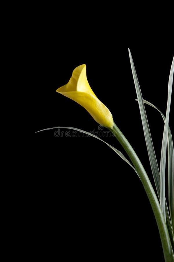 Zantedeschia jaune images stock