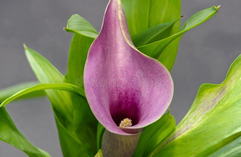 Zantedeschia , Arum Lily stock photography