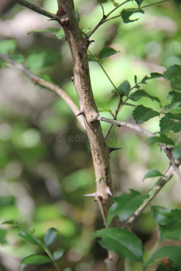 Zanthoxylum clava-herculis (blad en stekels) stock fotografie