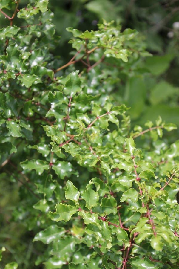 Zanthoxylum clava-herculis (liść i kręgosłupy) zdjęcia stock