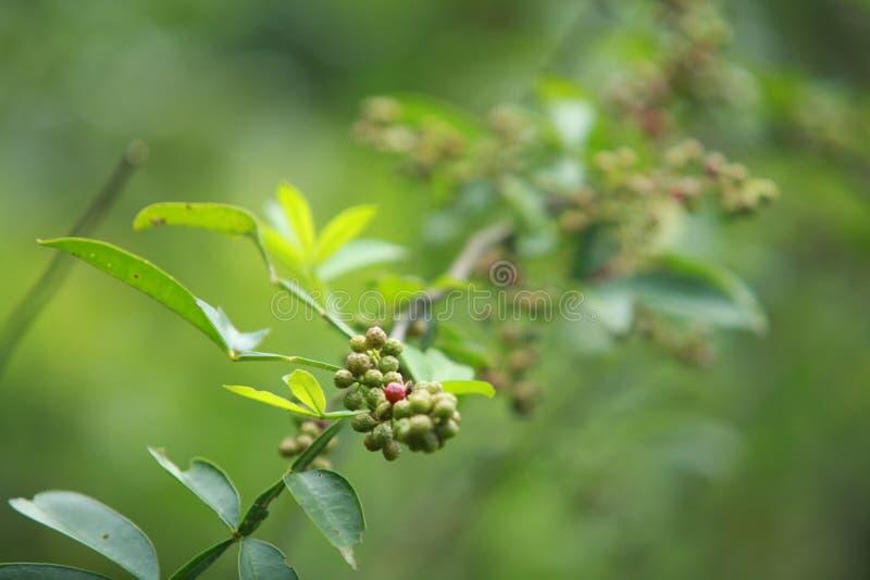 Zanthoxylum van de de Peper Chinese specerij van Sichuan bungeanumstelregel stock afbeelding