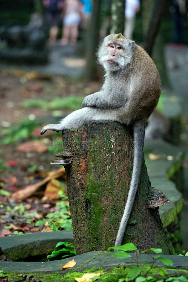 Zanudzający małpi sittink na drzewnym bagażniku w małpim lesie w Bali obrazy royalty free