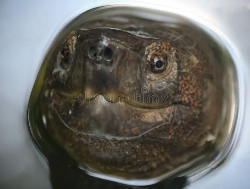 Zanurzający żółw Ukazuje się dla oddechu zdjęcia royalty free