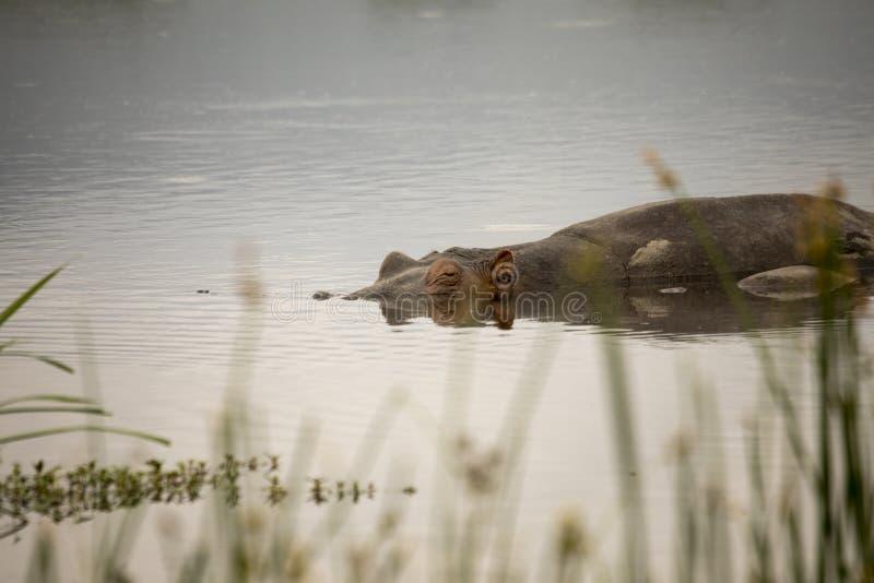 Zanurzający hipopotam w basenie, Ngorongoro krater, Tanzania zdjęcia stock