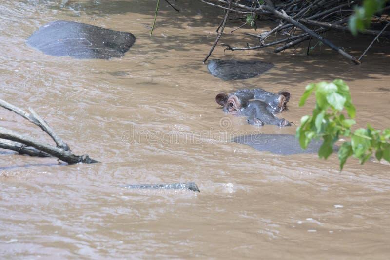 Zanurzający hipopotam w rzece, królowej Elizabeth park narodowy, Uganda zdjęcie royalty free