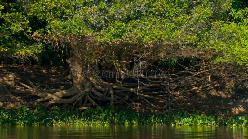 Zanurzający las w Brazylia zdjęcie royalty free
