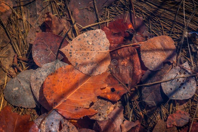 Zanurzający osiki i Cottonwood liście na trawie obrazy stock