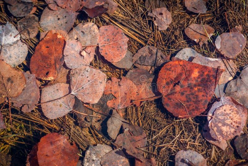 Zanurzający osiki i Cottonwood liście zdjęcie royalty free