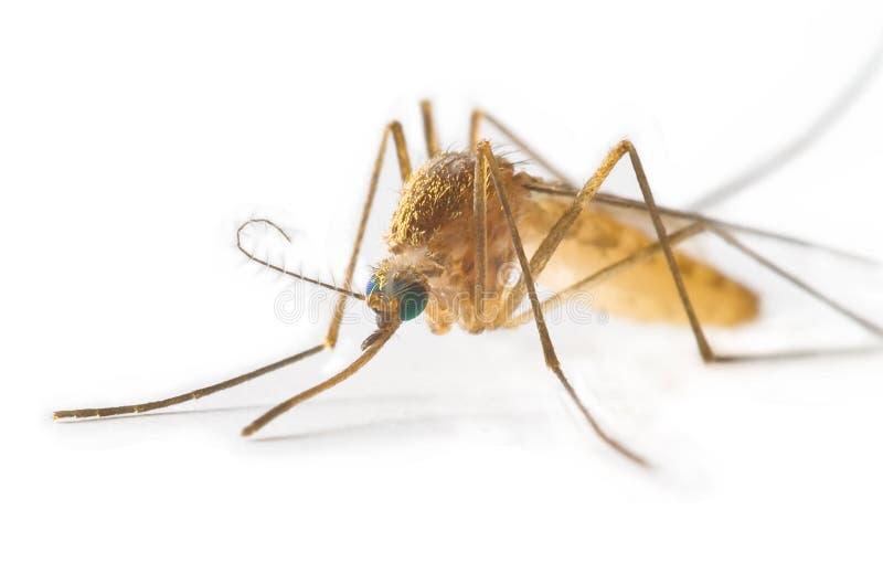 Zanzara fotografia stock