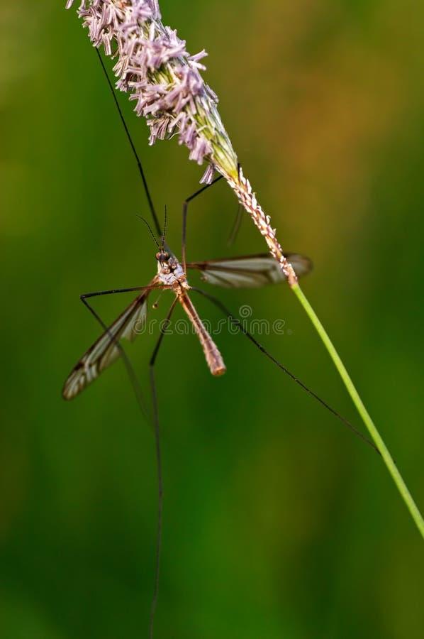 Zanzara fotografie stock libere da diritti