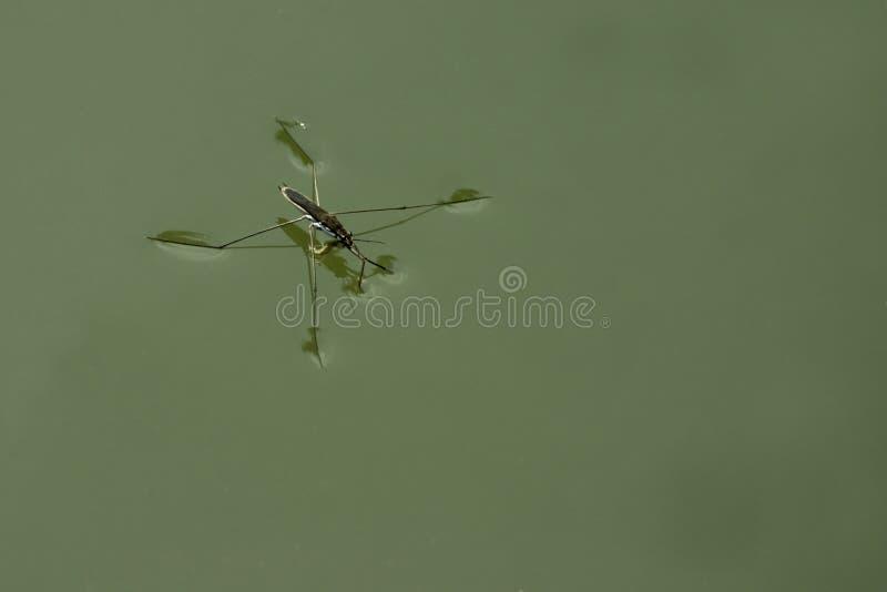 Zanzara dell'acqua immagine stock libera da diritti