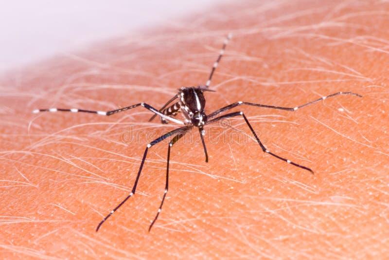 Zanzara della tigre immagine stock libera da diritti