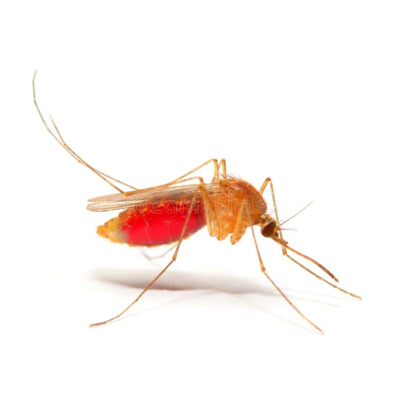 Zanzara delle anofeli fotografie stock libere da diritti