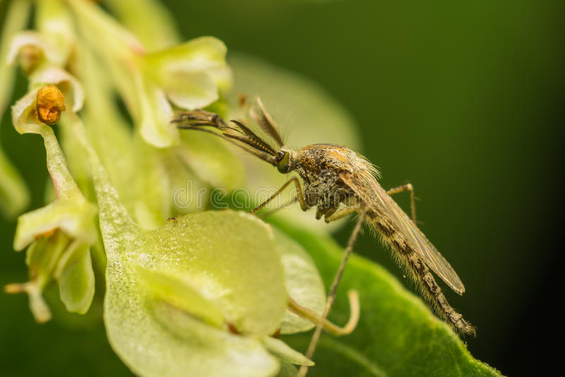Zanzara femminile fotografia stock libera da diritti