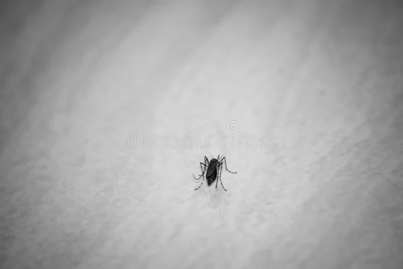 Zanzara sul pavimento immagini stock