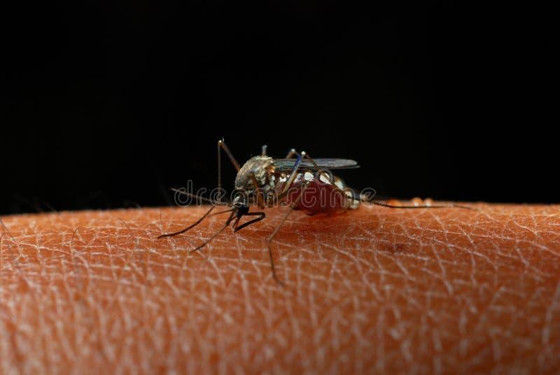 Zanzare fotografia stock