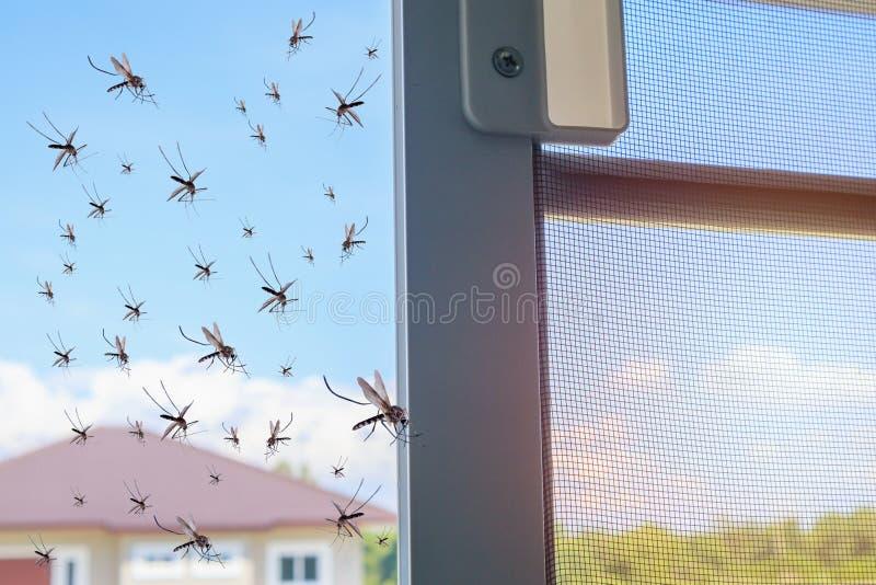 Zanzare che volano dentro alla casa mentre la rete dell'insetto è stata aperta fotografie stock libere da diritti