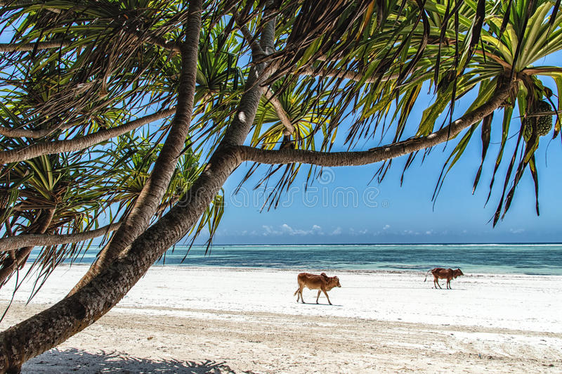 Zanzibar Cows. Cows walking on a white sandy beach on the southeastern coast of Zanzibar, Tanzania stock image