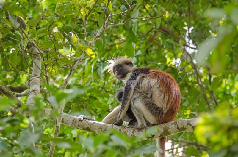 Zanzibar röda colobuses i den Jozani skogen på Zanzibar royaltyfria foton
