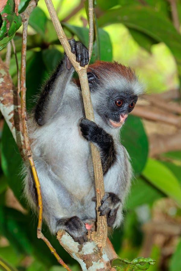 Endangered Zanzibar red colobus monkey royalty free stock photography