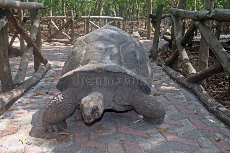 Zanzibar sköldpadda fotografering för bildbyråer