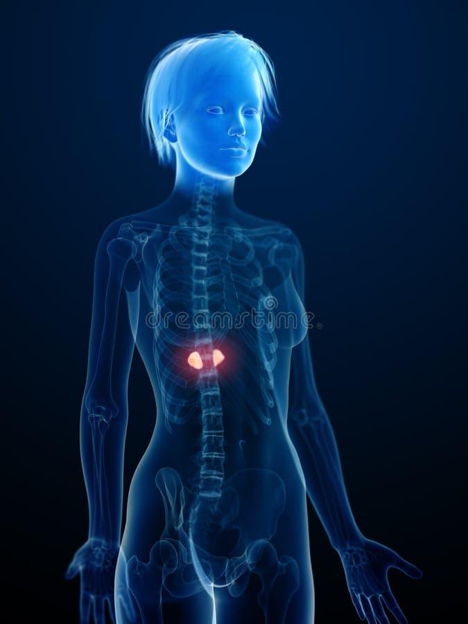 Zaogneni adrenal gruczoły ilustracja wektor