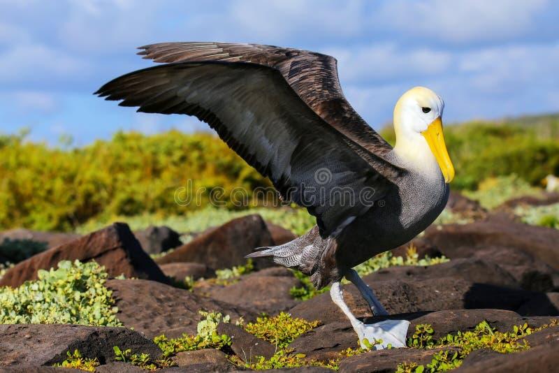 Zaondulowany albatros rozprzestrzenia swój skrzydła, Espanola wyspa, Galapagos obraz stock