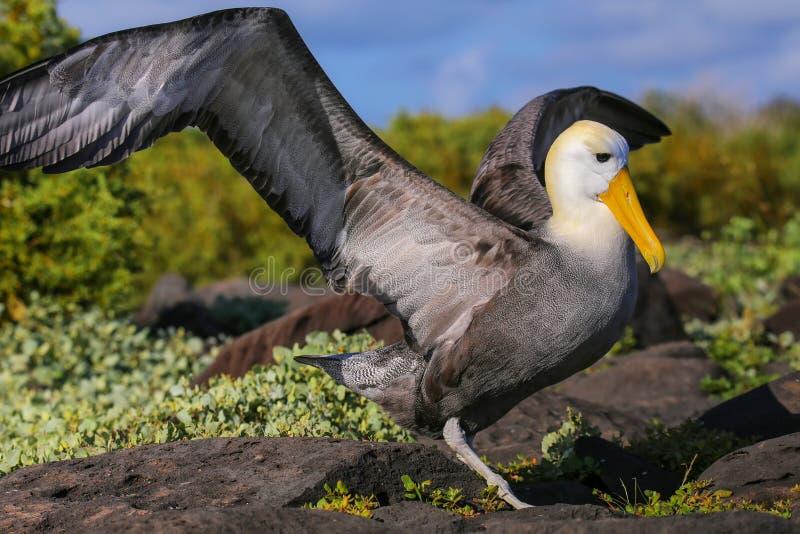 Zaondulowany albatros rozprzestrzenia sw?j skrzyd?a, Espanola wyspy, Galapagos park narodowy, Ekwador zdjęcia royalty free