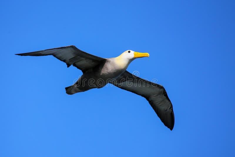 Zaondulowany albatros w locie na Espanola wyspie, Galapagos park narodowy, Ekwador obrazy stock
